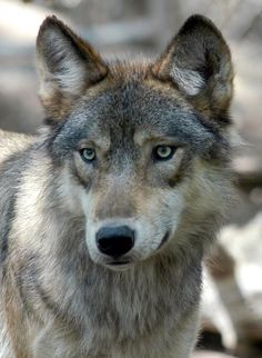 A U.S. appeals court has lifted protections that kept gray wolves an endangered species in Wyoming for years after federal officials removed packs in neighboring states from that list.Friday's ruling by the U.S. Court of Appeals for the District of Columbia reverses a lower judge who sided with environmental groups and rejected Wyoming's wolf management plan.It wasn't immediately clear how quickly the ruling might put into effect Wyoming state rules that would, among other things,...