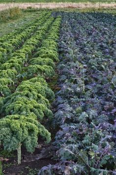 Les bonheurs d'Anne & Alex: Journée Nationale du Kale - National Kale Day + recette Sauté de Kale