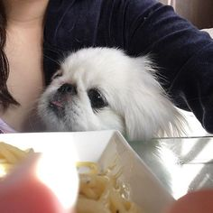 指がうつっちゃったけど、、 スパゲッティわけてくれるんでしょ?って擦り寄ってくるぺったん様🐶⭐️ #ペキニーズ #ぺったん #ぺぺ #ぺキスタグラム #鼻ぺちゃ部  #ポチャ #犬 #北京犬 #dog #白ぺき #親バカ #わんちゃん #おてんば #愛犬 #家族#ふわもこ部 #ふわふわ
