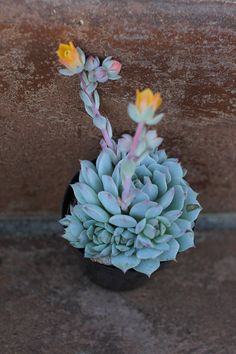 Succulent Plant  2 Echeveria 'Lola' by SucculentOasis on Etsy, $9.00