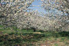 El Valle del Jerte comienza a florecer a la espera de 50.000 visitantes
