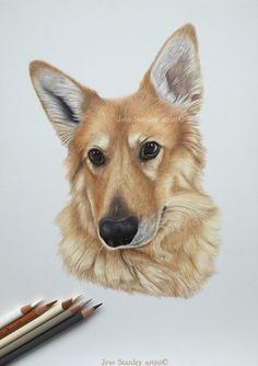 Storm the German shepherd portrait in coloured pencil by Jess Stanley artist