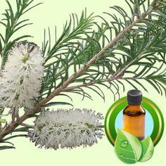Cajeput Organic ESSENTIAL OIL #essentialoil  #essentialoils  #wholesale #naturalfragrance #naturalfragrances  #naturesgarden #naturalscent