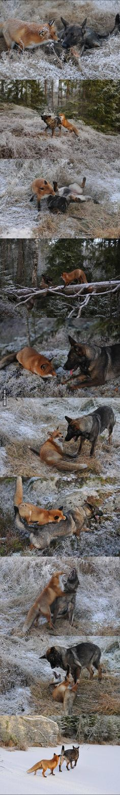 The Fox and The Hound, in Real Life!