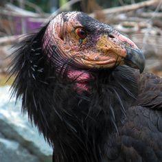 California condor by Michelle_Fryer, via Flickr