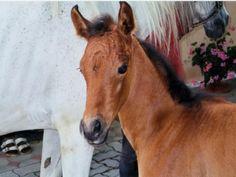 le cheval brun bébé Wallpaper