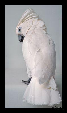 Riven: Umbrella Cockatoo Pretty Birds, Love Birds, Beautiful Birds, Animals Beautiful, Big Bird, Small Birds, Toucan, Parakeets, Exotic Birds