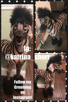 My own poodle Zeus! He's a zebrapoo now! Check me out on Instagram @katrina_short.  I do amazing stuff and A lot of creative grooming!!