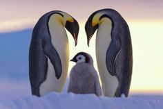 Pinguino Emperador Parents Love - Emperor penguins and chick (by Anneliese & Claus Possberg on Nature Animals, Animals And Pets, Arctic Animals, Wild Animals, Small Animals, Small Birds, Beautiful Birds, Animals Beautiful, Beautiful Family