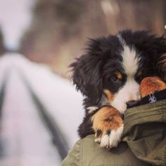 Bashful. @bernermurphstagram Bernese Puppy, Berner Dog, Bernese Mountain Dogs, Mountain Dog Breeds, Cute Dog Stuff, Adorable Dogs, Bernedoodle Puppy, Puppy Dog Eyes, J'adore Les Chiens