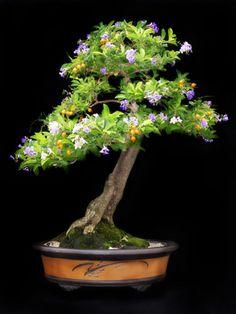 Duranta Repens bonsai