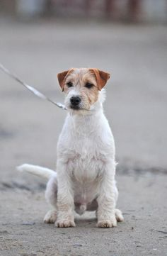 my love -salt water. Parson Russell terrier. 4months