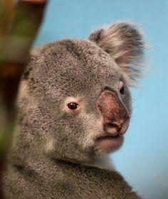 Koala | Flickr: Intercambio de fotos