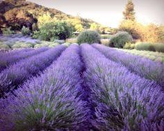 Lavender Field   Photograph Purple wall art Decor   by LupenGrainne
