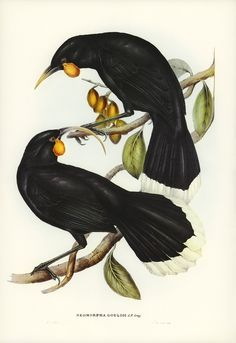 Elizabeth Gould (British painter and lithographer) 1804 - 1841 John Gould (British ornithologist and bird artist) 1804 - 1881 Henry James Richter (British engraver) 1772 - 1857 Neomorpha Gouldii [Huia], 1848 hand coloured lithograph Vintage Bird Illustration, Zealand Tattoo, Bird Artists, Maori Art, Extinct Animals, Vintage Birds, Vintage Prints, Australian Art, Thing 1
