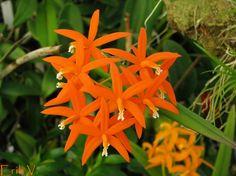 Orchid: Laelia harpophylla