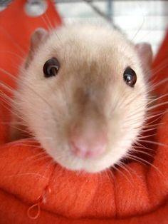 Rat in a blanket