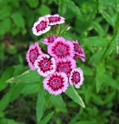 Sweet William (Dianthus barbatus)