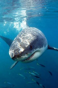 The Great White Shark All Sharks, Save The Sharks, Shark Pictures, Shark Photos, Orcas, Beautiful Creatures, Animals Beautiful, Beluga, Species Of Sharks