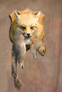 Google Image Result for http://www.richstaxidermy.com/_Red-fox01.jpg