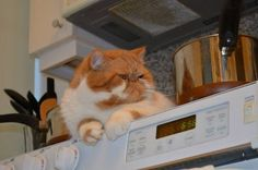 Exotic shorthair cat Garfield