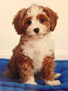 Wish the #cavapoo