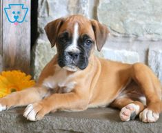 Dora | Boxer Puppy For Sale | Keystone Puppies Boxer Puppies For Sale, Cute Puppies, Dogs, Animals, Animales, Animaux, Pet Dogs, Doggies, Animal