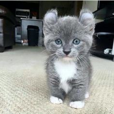 Cats, kitten & nothing else — What a cute and very different looking kitten.