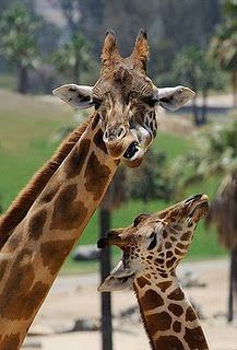 Giraffe neck with heart shape