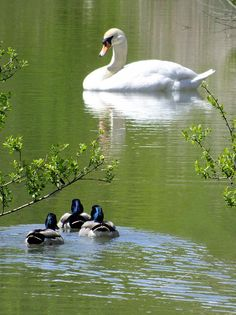 Tranquillity-Three Mallard ducks and a swan at Arundel Wildfowl and Wetlands Centre, Sussex