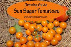 Sun Sugar Tomatoes are one of the best cherry sized tomaotes on the market. This post will give you a quick introduction to is yummy cherry tomato. Growing Tomatoes In Containers, Growing Grapes, Growing Vegetables, Fruits And Vegetables, Grow Tomatoes, Veggies, Cherry Tomato Plant, Tomato Plants, Cherry Tomatoes