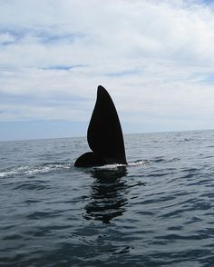 dynamicoceans:  Southern Right Whale Diving Fixed by Snarf77 on Flickr.