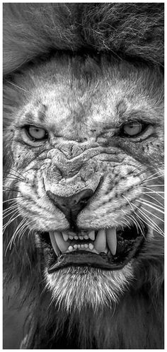 Ideas for tattoo wolf angry scary Lion Images, Lion Pictures, Majestic Animals, Animals Beautiful, Wild Animal Wallpaper, Grand Chat, Lion Photography, Mens Lion Tattoo, Tattoo Wolf