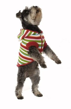 The cardigan style dog jumper range in a rainbow colour designer pet clothing stripes of colours to match any event this season for the dog puppies galore look so fetchingin the dog scene of pet fashion. Yorkie, Chihuahua, Rainbow Dog, Dog Jumpers, Pet Fashion, Cat Accessories, Dog Hoodie, Dog Coats, Pet Store