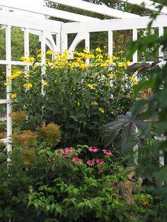 Superieur #tall Plants U0027Herbstonneu0027 Black Eyed Susan Is A Midsummer Blooming  Perennial That