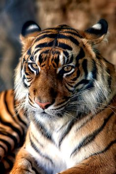 The Sumatran tigers have coloring that is so incredibly intense! And gorgeous.