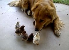 """Bailey the Golden Retriever mix immediately adopted 10 chicks when they showed up in the yard one morning. """"it was love at first sight"""""""