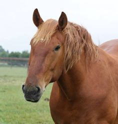 The Suffolk Horse is a heavy draught horse. They are always chestnut in colour. Breed standards permit some white markings on the head and lower legs. The fetlocks have very little feathering - this is an advantage when the horse in working in the mud and heavy soils of East Anglia.