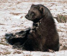 Wolverine (Gulo gulo). Michigan, USA. Photo by Maia C (at https://www.flickr.com/photos/maiac/6778600535/).