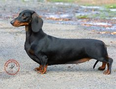 Great Weiner Chubby Adorable Dog - 5c448797495831ad17ee72c07633c67d  HD_375100  .jpg