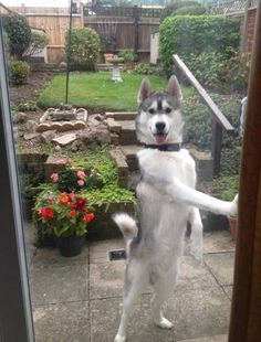Cão foi fotografado em pé como se estivesse tentando abrir porta de vidro (Foto: Reprodução/Imgur/CalcdUncertainty ·)