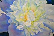 H Cooper - Morning Glow - watercolor painting of a white Peony