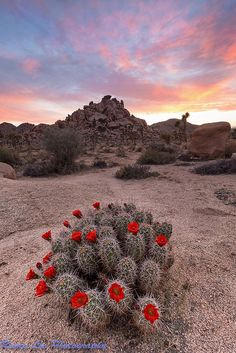 A real gem, hence the title! This is I believe a Mojave mound cactus in its full glory.  *Joshua Ruby | by romiana70