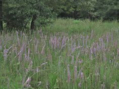 Gayfeather [Liatris spp.] - Edible root/tuber.  Only the latest year's tubers are tender enough to eat.  Tubers are harvested in fall and winter and can be roasted. Liatris Mucronata native to Texas. Note: can be a prolific self-seeder.