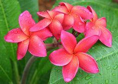 Plumeria Waimea by Tropic~7, via Flickr