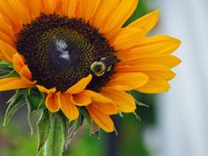 Bees love sunflowers!