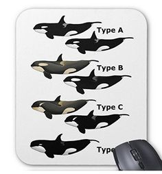 シャチの分類図のマウスパッド:フォトパッド( 世界の野生動物シリーズ ) (白地) 熱帯スタジオ http://www.amazon.co.jp/dp/B015JCJMMK/ref=cm_sw_r_pi_dp_Zgodwb1VDDQG7