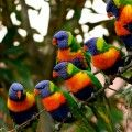 Rainbow lorikeets brightly colored Australasian parrots found in Australia, E Indonesia, Papua New Guinea, New Caledonia, Solomon Islands and Vanuatu. Here photographed in New South Wales (Australia) where same as the rest of the eastern seaboard, from Queensland to South Australia, and northwest Tasmania, they are abundant, preferring rainforest, coastal bush and woodland areas.
