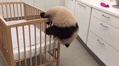 Gelukkige verjaardag, Tian Bao! Belgisch bekendste babypanda blaast vandaag zijn eerste kaarsje uit. In de nacht van 1 op 2 juni 2016, om 2u02 om precies t...