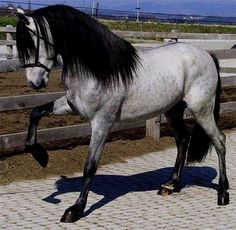 Andalusien. Years ago I described my dream horse. And this is exactly what I pictured in my mind. Looks wise.